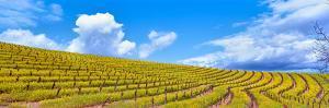 Scenic view of vineyard in springtime, Napa Valley, Napa County, California, USA