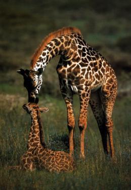 Giraffe Mother and Baby by Schaffer