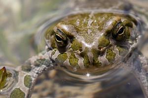 Male European Green Toad (Bufo Viridis), Adylsu Valley, Baksan Valley and Elbrus, Caucasus, Russia by Schandy