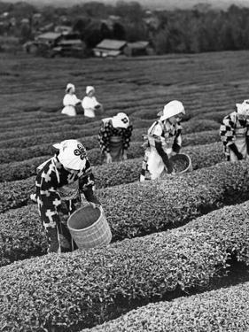 Japanische Teepflückerinnen in Shizuoko, 1938 by Scherl
