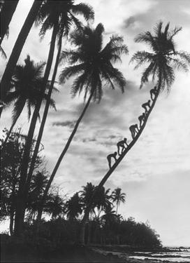 Palmen auf Hawaii, 1930er Jahre by Scherl