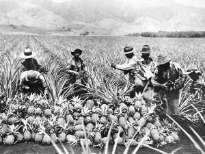 Pineapple Cultivation in Hawaii, 1920s by Scherl Süddeutsche Zeitung Photo
