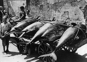 Transport von Thunfischen in Palermo, 1938 by Scherl