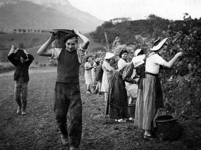 Weinernte im Haut-Grésivaudan in Südfrankreich, 1943