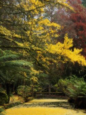 Ginkgo Tree Dropping Autumn Leaves, Alfred Nicholas Gardens, Dandenong Ranges, Victoria, Australia by Schlenker Jochen