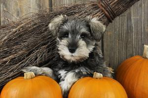 Schnauzer Puppy Sitting in Leaves with Broom
