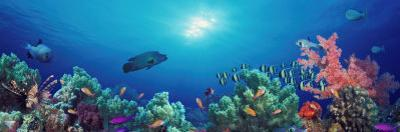 School of Fish Swimming Near a Reef, Indo-Pacific Ocean