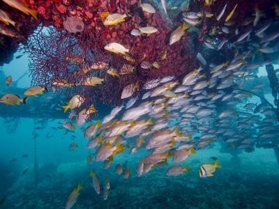 https://imgc.allpostersimages.com/img/posters/schools-of-gray-snapper-yellowtail-snapper-and-bluestripe-grunt-fish_u-L-PJ39JG0.jpg?artPerspective=n
