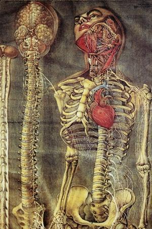 Anatomical Model, 18th Century