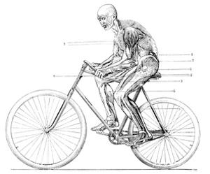 Muscles Used In Cycling, 19th Century by Science Photo Library