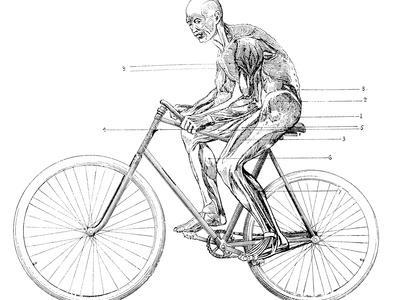 Muscles Used In Cycling, 19th Century