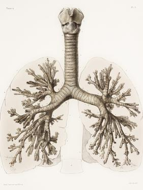 Respiratory Anatomy, 19th Century Artwork by Science Photo Library