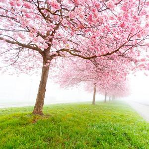 Sakura Flowers in the Early Misty Morning by science photo