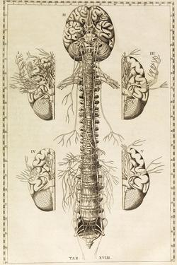 Brain, Nervous System, Illustration, 1744 by Science Source