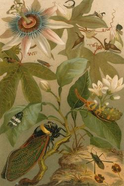 Clematis, Cicada and Beetles, 1894 by Science Source