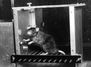 Rat in Skinner box by Science Source
