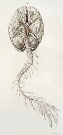 Spinal Arteries and Brain, Illustration, 1844