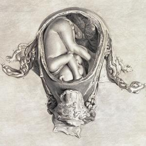 Uterus with Fetus, Illustration, 1774 by Science Source