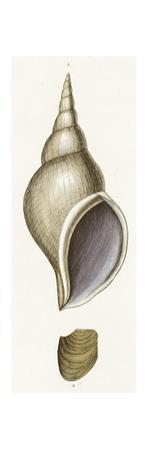 Scientific Diagram of Seashells