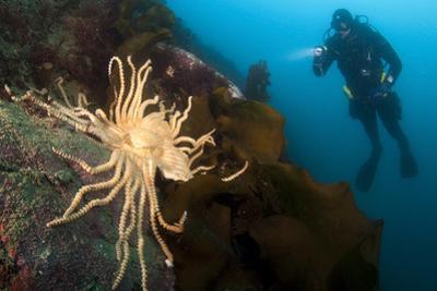 Scientific Diver Looks on at a Giant Starfish, Antarctic Peninsula