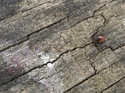 Adult Female of the Blacklegged Tick (Ixodes Scapularis) by Scientifica