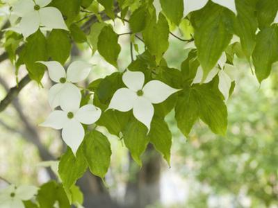 Oriental Dogwood Tree Flowers (Cornus Kousa) by Scientifica