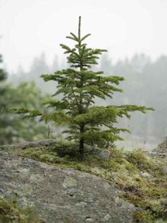Tree Growing in Difficult Conditions, Acadia National Park, Maine by Scientifica
