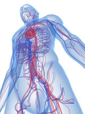 Cardiovascular System, Artwork by SCIEPRO