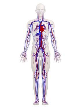 Cardiovascular System, Artwork by SCIEPRO