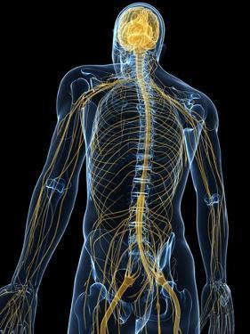 Human Nervous System, Artwork by SCIEPRO