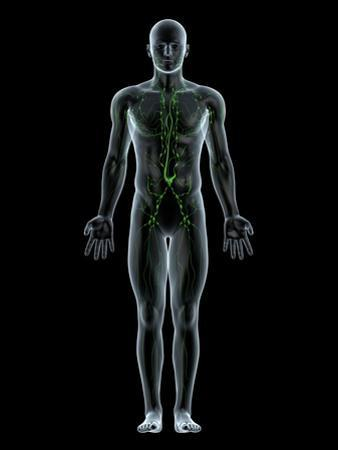 Lymphatic System, Artwork by SCIEPRO