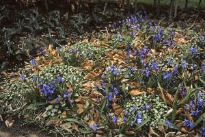 Scilla siberica/Siberia 'Spring Beauty'