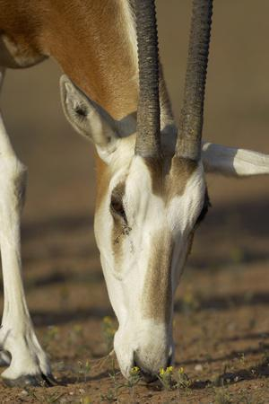 https://imgc.allpostersimages.com/img/posters/scimitar-horned-oryx-oryx-dammah-dubai-desert-conservation-reserve-dubai-uae_u-L-Q13A6NV0.jpg?p=0