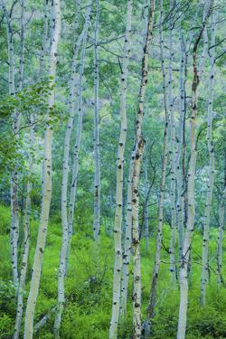 Aspen Meadow in Spring and Summer by Scott Cramer