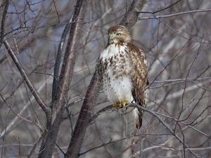 Red-Tailed Hawk (Buteo Jamaicensis) Portrait, Kingston, Annapolis Valley, Nova Scotia, Canada by Scott Leslie/Minden Pictures