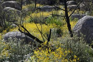 A Variety of Flowers Grow in a Forest Fire Burn Scar Along the Granite Mountain Trail by Scott S. Warren