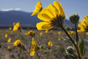 Wildflowers Bloom Along Highway 190 North of Furnace Creek in Death Valley National Park by Scott S. Warren