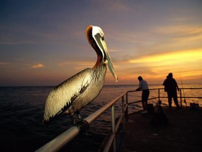 A Brown Pelican Sits on the Pier Railing at Sunset, While People Fish in the Background