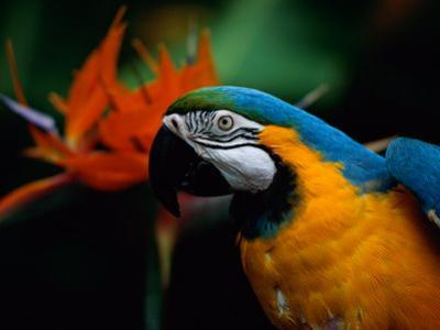 A Portrait of Henry the Macaw, Who Resided in National Geographics Explorers Hall for over 20 Years
