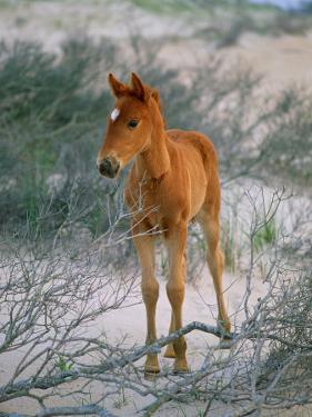 A Wild Pony on the Beach at Chincoteague Island by Scott Sroka