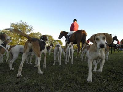 Group of Dogs and a Man on Horseback Await the Start of a Fox Hunt