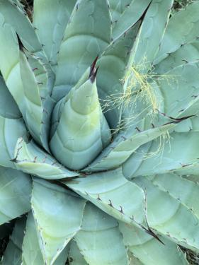 Agave Growing in Organ Pipe Cactus National Monument, Ajo Mountains, Arizona, USA by Scott T. Smith