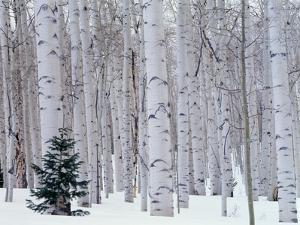 Aspen and Douglas Fir, Manti-Lasal National Forest, La Sal Mountains, Utah, USA by Scott T. Smith