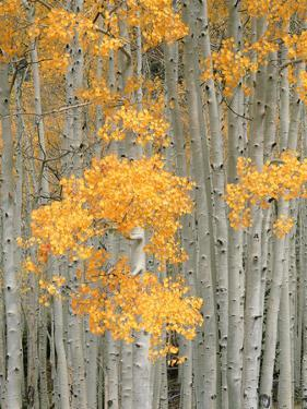 Aspen Grove, Fish Lake Plateau Near Fish Lake National Forest, Utah, USA by Scott T^ Smith