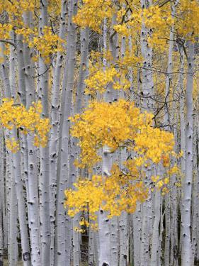 Aspen Grove on Fish Lake Plateau, Fishlake National Forest, Utah, USA by Scott T^ Smith