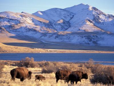 Bison above Great Salt Lake, Antelope Island State Park, Utah, USA by Scott T. Smith