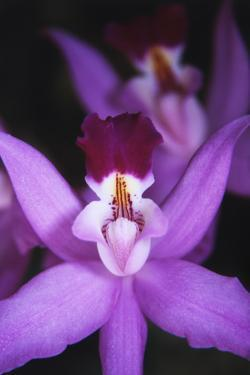 Costa Rica, Ankester Botanical Gardens, Close Up of Orchid by Scott T. Smith