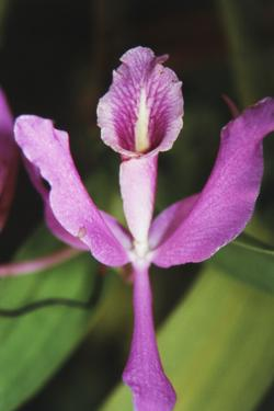Costa Rica, Close Up of Pink Orchid in Lankester Botanical Gardens by Scott T. Smith