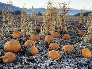 Fall Vegetables in Frosty Field, Great Basin, Cache Valley, Utah, USA by Scott T^ Smith