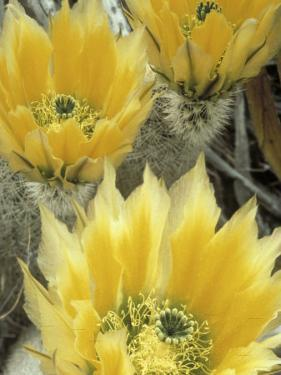 Flowers in Chihuahuan Desert, Big Bend National Park, Texas, USA by Scott T. Smith